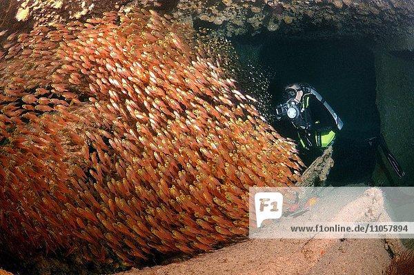Taucher mit einem Schwarm Glasfische oder Beilfische (Pempheris schomburgkii)  im Laderaum des Schiffswracks SS Dunraven  Rotes Meer  Ägypten  Afrika