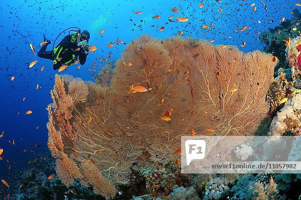 Männliche Taucher fotografiert Koralle Fächergorgonie (Gorgonia flabellum)  Rotes Meer  Ägypten  Afrika
