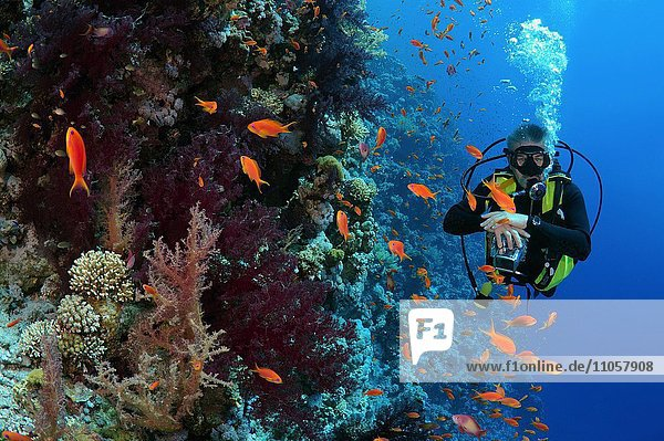 Diver looking at coral reef  Ras Muhammad National Park  Sinai Peninsula  Sharm el-Sheikh  Red Sea  Egypt  Africa