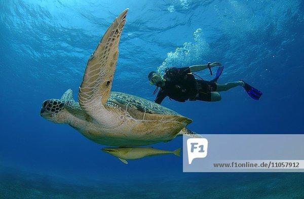 Taucher schwimmt neben Suppenschildkröte (Chelonia mydas)  Rotes Meer  Marsa Alam  Abu Dabab  Ägypten  Afrika