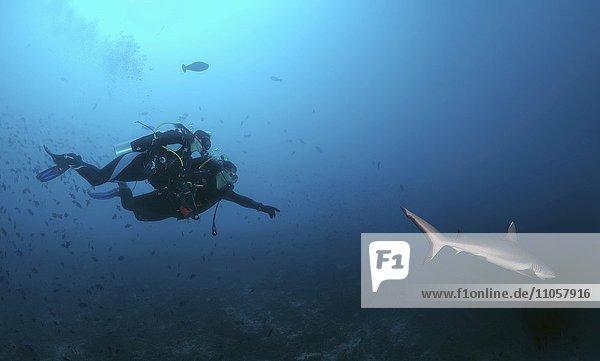 Zwei Taucher und graue Riffhaie (Carcharhinus amblyrhynchos)  Indischer Ozean  Malediven  Asien