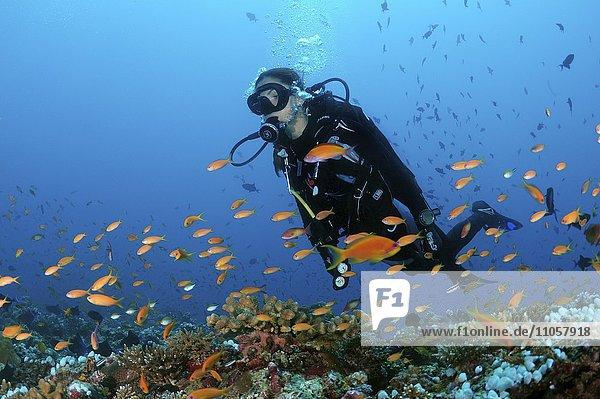 Weiblicher Taucher schwimmt über Korallenriff,  Blick auf bunte Fische,  Indischer Ozean,  Malediven,  Asien