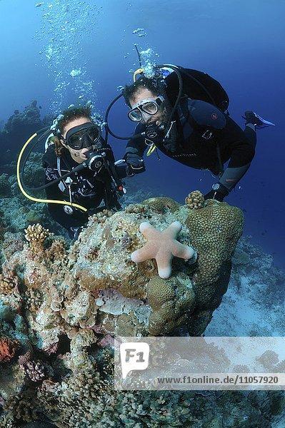 Taucher blicken auf Walzenseestern (Choriaster granulatus)  Indischer Ozean  Malediven  Asien