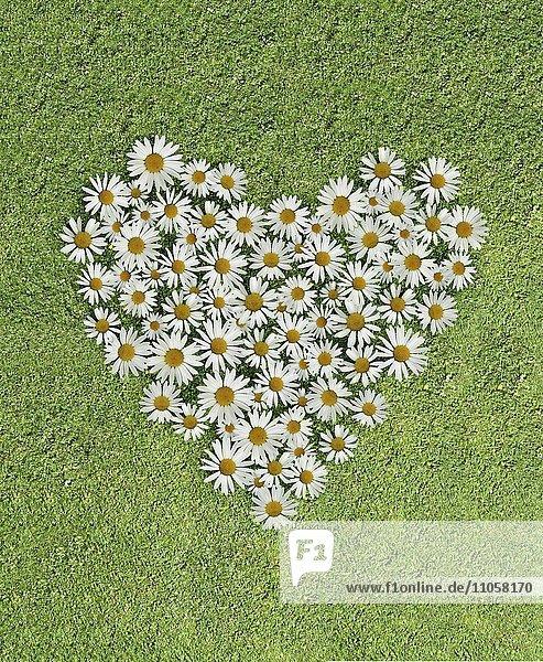 Herz aus Margeritenblüten  Wiese
