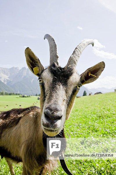 Ziege auf Weide  Goas-Alm  Mittenwald  Oberbayern  Bayern  Deutschland  Europa