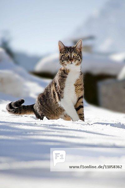 Katze sitzt im Schnee  Mittenwald  Bayern  Deutschland  Europa