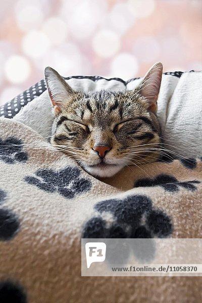 Hauskatze schläft unter einer Decke