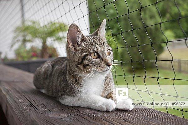 Hauskatze liegt auf dem Balkon vor einem Netz