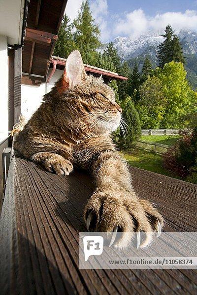 Hauskatze genießt die Sonne auf dem Balkon  Mittenwald