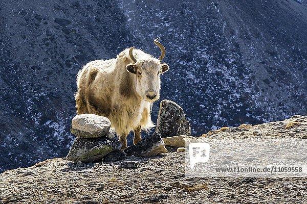 Weißes Yak  auch Jak (Bos mutus) auf einem Hügel  Berghänge hinten  Dzongla  Solo Khumbu  Nepal  Asien