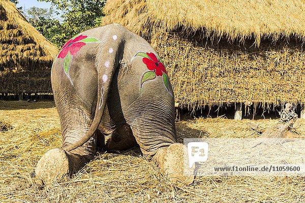 Asiatischer Elefant (Elephas maximus)  Rückansicht  für Elefanten-Festival bunt bemalt  Chitwan-Nationalpark  Sauraha  Chitwan  Nepal  Asien