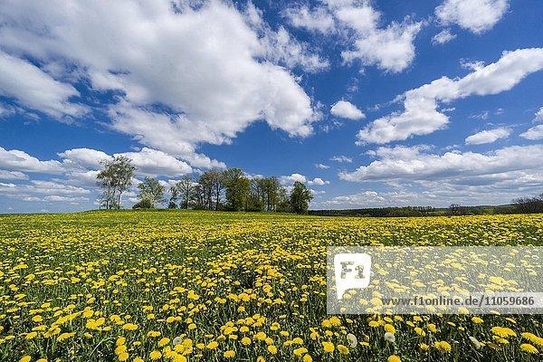 Landschaft mit Bäumen und vielen gelben Löwenzahn-Blüten (Taraxacum officinale)  Cunnersdorf  Sachsen  Deutschland  Europa