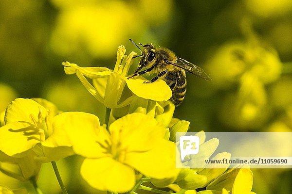 Kärntner Biene (Apis mellifera carnica) sammelt Nektar von gelber Rapsblüte (Brassica napus)  Heidenau  Sachsen  Deutschland  Europa