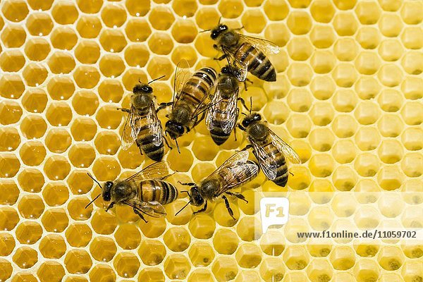 Kärntner Bienen (Apis mellifera carnica) auf Honigwabe  Sachsen  Deutschland  Europa