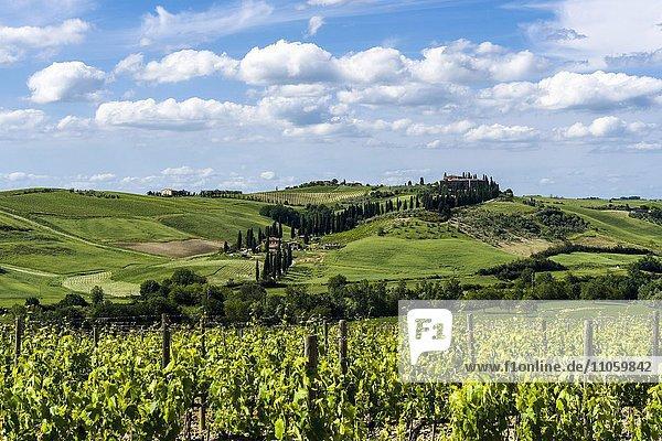 Typische Landschaft der Toskana mit einem Haus auf einem Hügel,  Weinberge,  Olivenhaine,  Val d'Orcia,  San Quirico d'Orcia,  Toskana,  Italien,  Europa