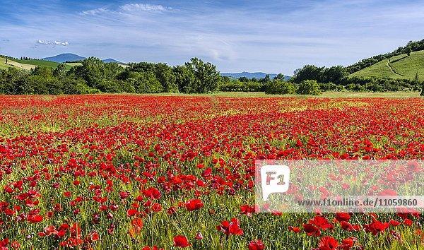 Typische grüne Landschaft in der Toskana  Hügel  Bäume  rote Mohnblumen (Papaver)  blauer  bewölkter Himmel  San Giovanni d'Asso  Val d'Orcia  Toskana  Italien  Europa