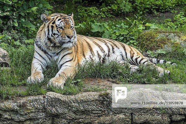 Amur-Tiger (Panthera tigris altaica)  liegend  captive  Leipzig  Sachsen  Deutschland  Europa