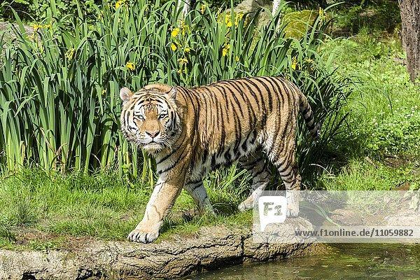 Amur-Tiger (Panthera tigris altaica)  an einer Wasserstelle  captive  Leipzig  Sachsen  Deutschland  Europa