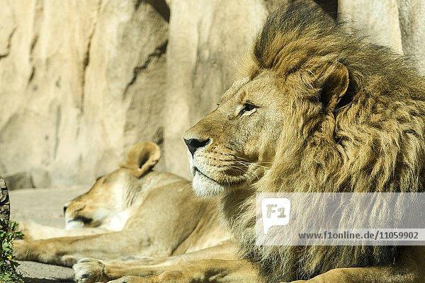 Löwe (Panthera leo)  Männchen  liegend  captive  Dresden  Sachsen  Deutschland  Europa