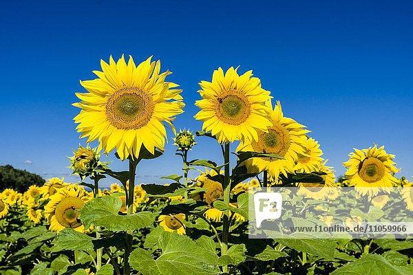 Blühende Sonnenblumen (Helianthus annuus) in einem Sonnenblumenfeld  Sachsen  Deutschland  Europa