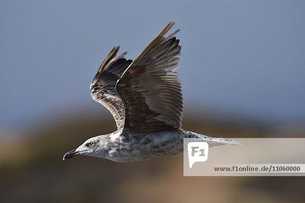 Fliegende Mittelmeermöwe (Larus michahellis) im Jugendkleid  Alentejo  Portugal  Europa