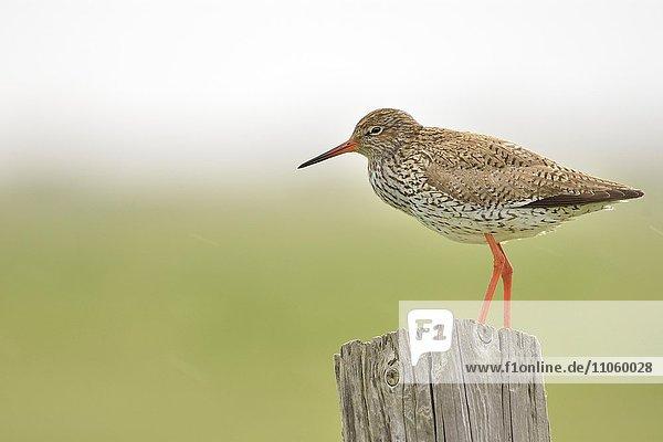 Rotschenkel (Tringa totanus)  adult  auf einem Pfahl  Texel  Provinz Nordholland  Holland  Niederlande  Europa