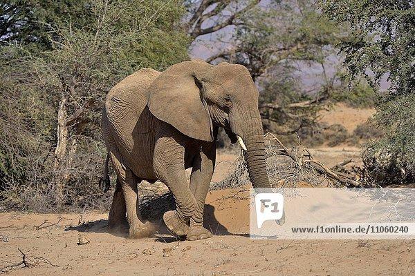 Wüstenelefant oder Afrikanischer Elefant (Loxodonta africana)  Trockenflussbett des Huab  Damaraland  Namibia  Afrika