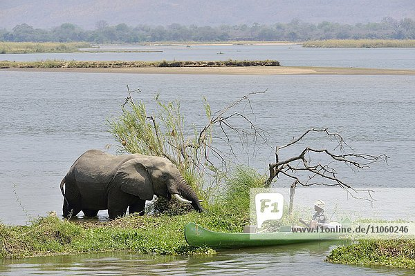 Park ranger nähert sich mit dem Kanu einem Elefanten  (Loxodonta africana)  Sambesi Fluss  Mana Pools-Nationalpark  Provinz Mashonaland West  Simbabwe  Afrika