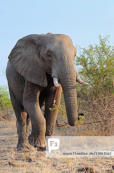 Afrikanischer Elefant (Loxodonta africana)  Elefantenbulle im Busch  beim Fressen am frühen Morgen  Krüger-Nationalpark  Südafrika