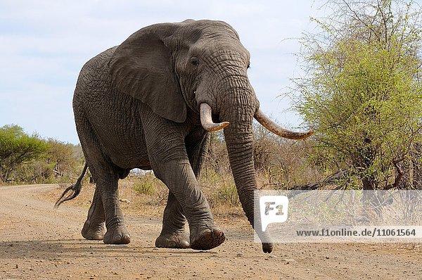 Afrikanischer Elefant (Loxodonta africana)  Elefantenbulle unterwegs auf einer Schotterstraße  Krüger-Nationalpark  Südafrika