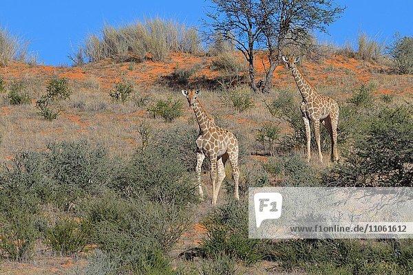 Giraffen (Giraffa camelopardalis)  zwei Jungtiere auf roter Sanddüne  Kgalagadi-Transfrontier-Nationalpark  Provinz Nordkap  Südafrika