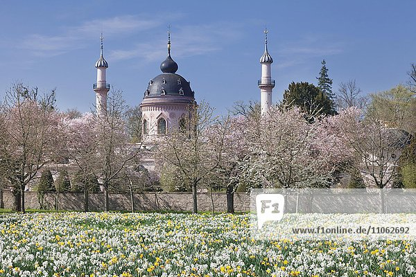 Kirschblüte und Narzissenblüte  hinten Moschee  Schlosspark Schloss Schwetzingen  Schwetzingen  Baden-Württemberg  Deutschland  Europa
