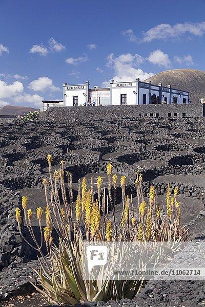 Bodega La Geria im Weinanbaugebiet La Geria  Lanzarote  Kanarischen Inseln  Spanien  Europa