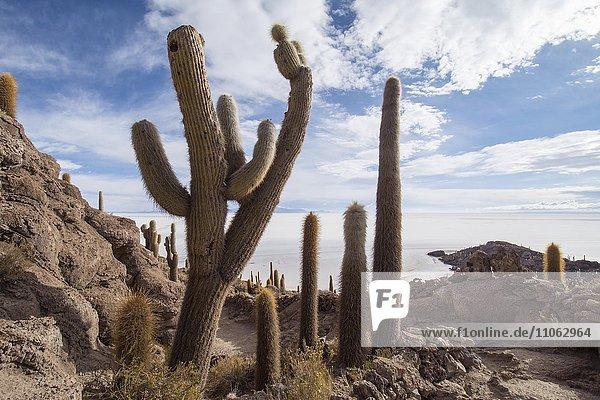 Cactus (Echinopsis atacamensis)  Isla Incahuasi or Isla del Pescado  Salar de Uyuni  Altiplano  Bolivia  South America