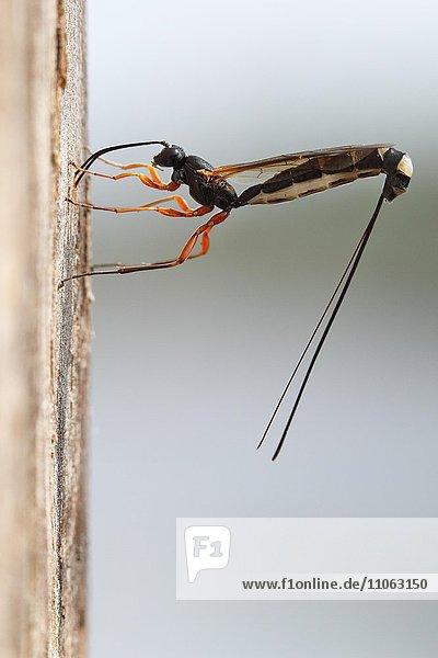Wood-wasp (Rhyssa persuasoria)  oviposition in the trunk of an alder  natural park Peenetal  Mecklenburg-Western Pomerania  Germany  Europe