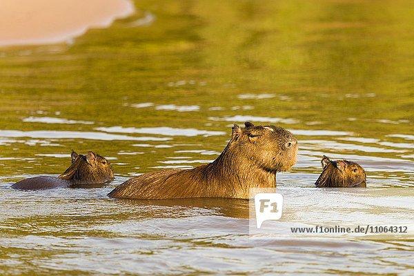 Capybaras  Wasserschweine (Hydrochoerus Hydrochaeris) adult mit Jungtieren im Wasser  Pantanal  Brasilien  Südamerika