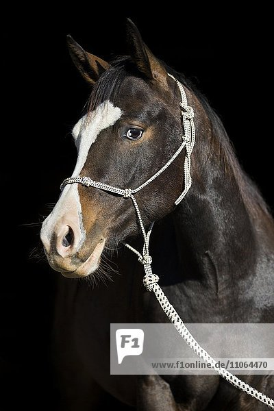 Paint Horse  bay horse  with a rope halter  portrait