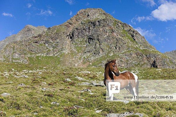 Pinto Warmblut auf der Hochalm  Fuchsschecke  Stubaier Alpen  Nordtirol  Österreich  Europa
