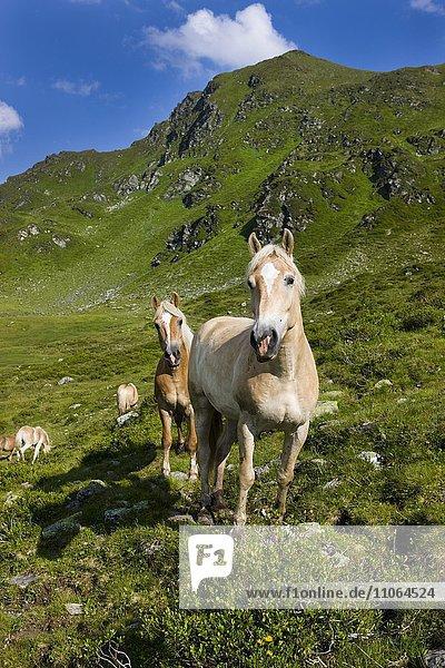 Haflinger auf der Weide  Sintersbach Hochalm  Lehmfuchs  Kitzbühler Alpen  Tirol  Österreich  Europa