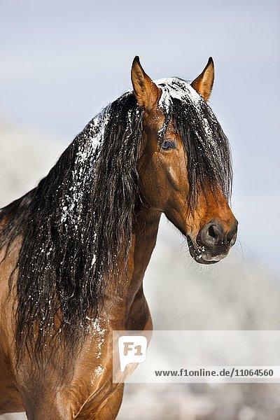PRE horse  brown  portrait in winter  Austria  Europe