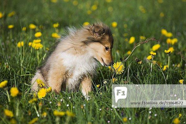Collie  Schottischer Schäferhund  Welpe  zobel-weiß  schnuppert an Löwenzahnblüte  Salzburg  Österreich  Europa