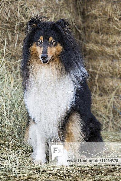 Collie  Schottischer Schäferhund  tricolor sitzt vor Heuballen  Salzburg  Österreich  Europa