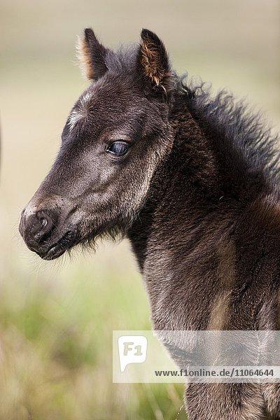 Dartmoor Hill Highland Pony  Fohlen neu geboren  Portrait  Dartmoor Nationalpark  Devon  Großbritannien  Europa