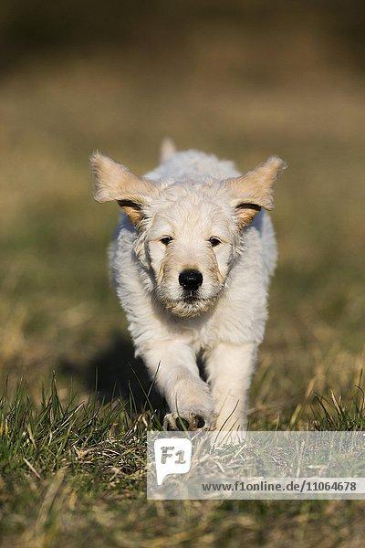 Goldendoodle läuft auf der Wiese  Welpe  Hybridhund  Tirol  Österreich  Europa