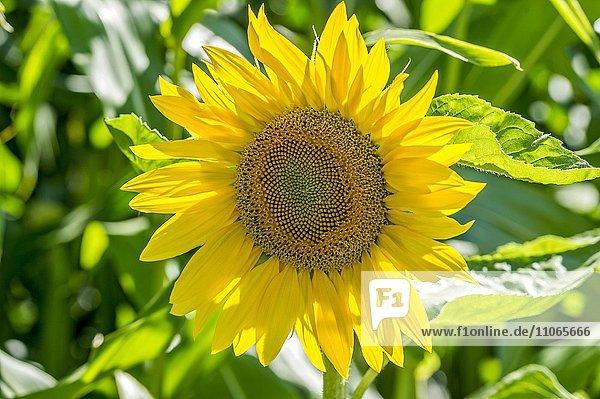Blüte einer Sonnenblume (Helianthus annuus)  Bayern  Deutschland  Europa