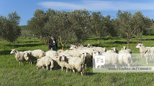 Hiking shepherd with his sheep  Sardinia  Italy  Europe