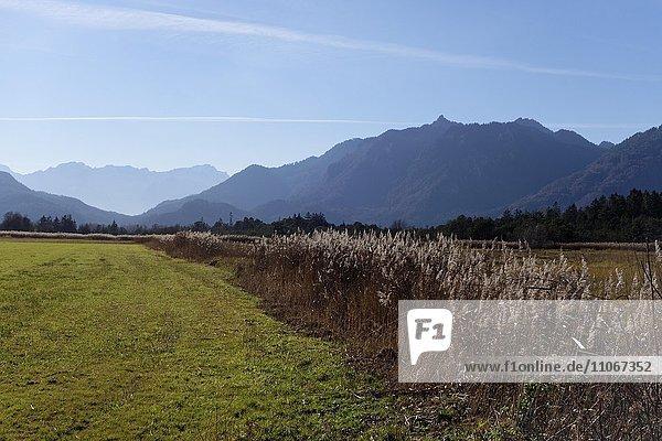 Schilfgras im Murnauer Moos  bei Eschenlohe  Werdenfelser Land  Oberbayern  Bayern  Deutschland  Europa