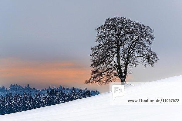 Baum am Hang in winterlicher Landschaft  Aitrang  Oberallgäu  Bayern  Deutschland  Europa