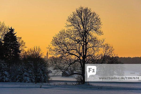Baum in winterlicher Landschaft bei Sonnenuntergang  Unteregg  Unterallgäu  Bayern  Deutschland  Europa