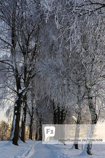 Birken (Betula) Allee in winterlicher Landschaft bei Sonnenaufgang  Murnau  Oberbayern  Deutschland  Europa